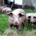 Cochon dans un pré