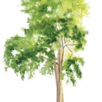 Aquarelle robinier faux acacia
