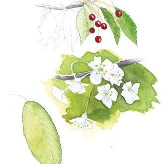 Aquarelle Fleurs et fruits de merisier