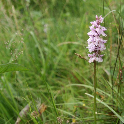 Orchis tachetée