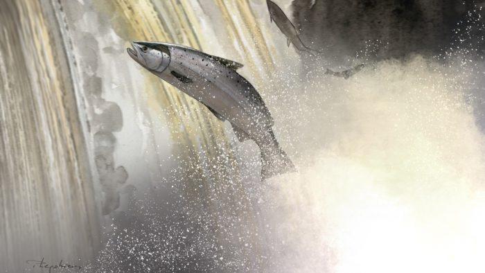 Aquarelle d'un saumon passant un barrage